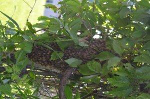 Bee Swarm 1